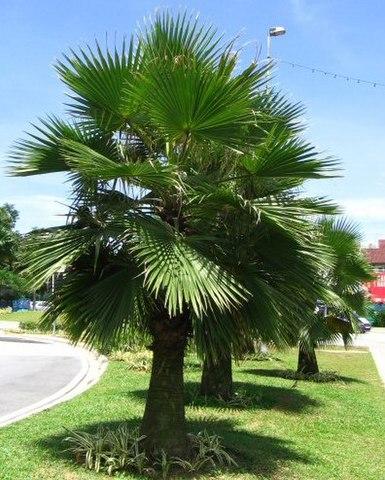 Palma de Guadalupe: características, habitat, usos, cuidados 1