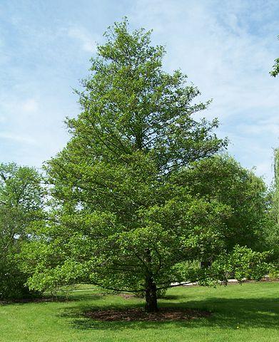 Amieiro: características, habitat, cultivo, usos 1