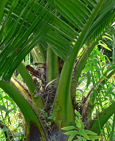 Palma chilena: características, habitat, usos, cultivo 2
