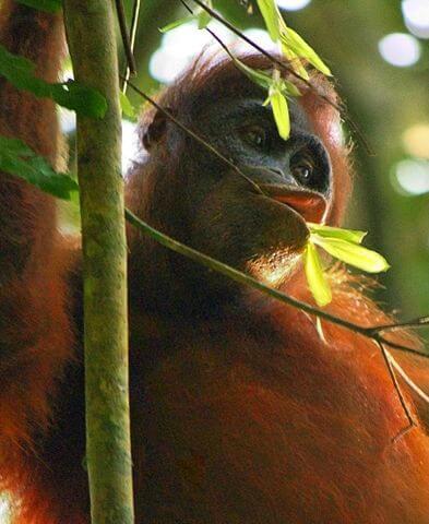 Orangotango: características, habitat, comida e comportamento 4