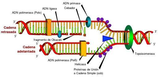 Topoisomerases: características, funções, tipos e inibidores 4
