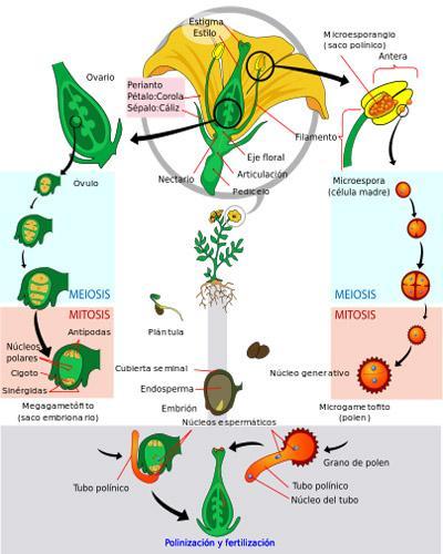O que é megasporogênese? 2