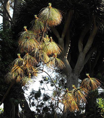 Pinus montezumae: características, habitat, taxonomia, usos 5