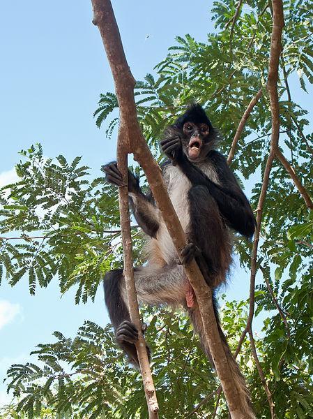 Macaco-aranha: características, habitat, reprodução, alimentação 2