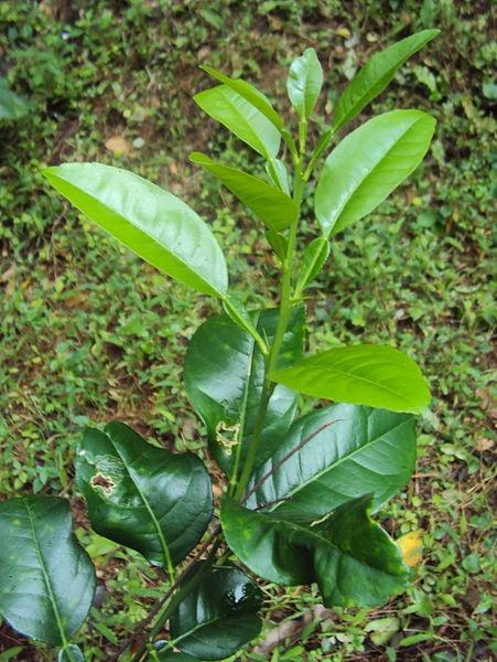 Citrus × aurantifolia: características, habitat, propriedades, cuidados 6