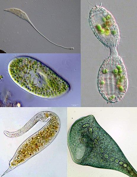 Células ciliadas: características e funções 1