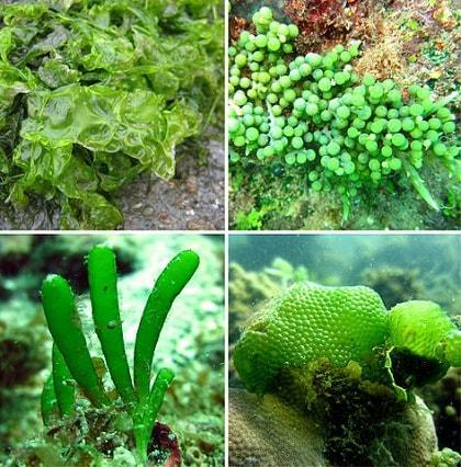 Algas verdes: características, habitat, tipos e propriedades 5