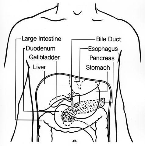 Ponto cístico: o que é, importância, anatomia da vesícula biliar 5