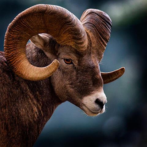 Carneiro selvagem: características, habitat, alimentação 3