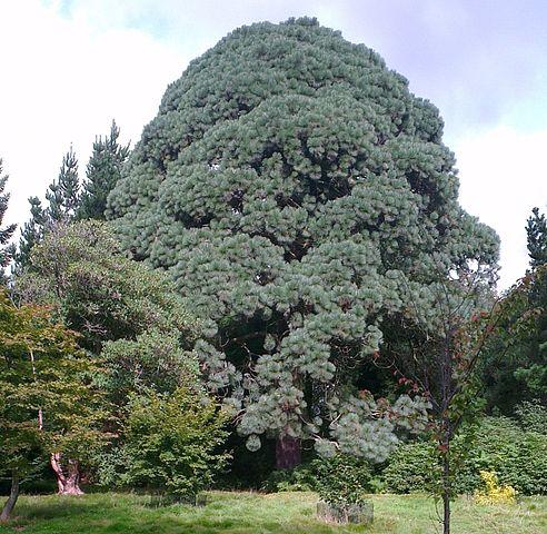 Pinus montezumae: características, habitat, taxonomia, usos 1
