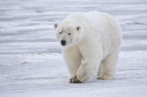 Desertos polares: características, clima, flora e fauna 5