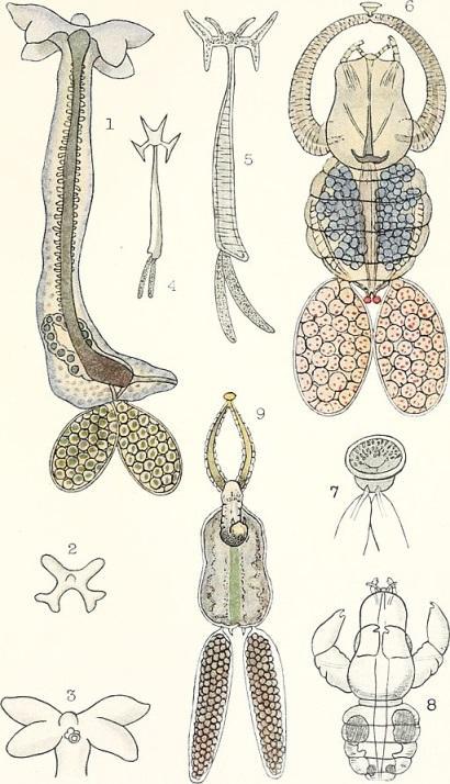 Copepoda: características, habitat, ciclo de vida e aplicações 5