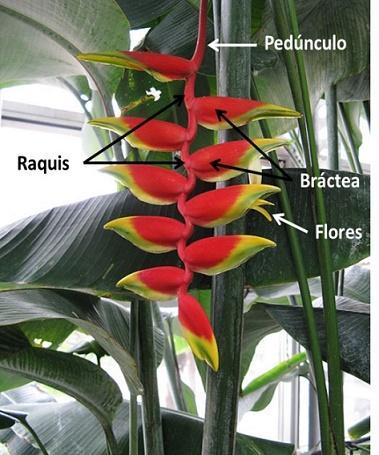 Heliconia: características, habitat, reprodução e cultivo 5
