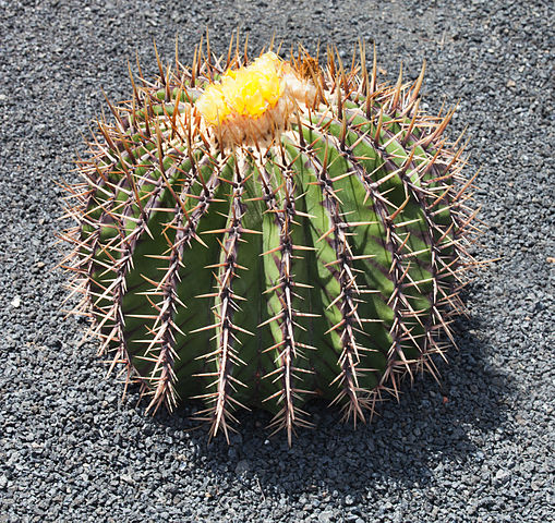 Echinocactus platyacanthus: características, habitat, usos 4