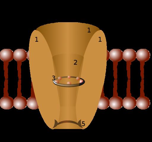 Canais iônicos: estrutura, funções, tipos 5