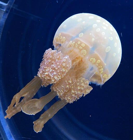 Água-viva: características, morfologia, habitat, reprodução 8