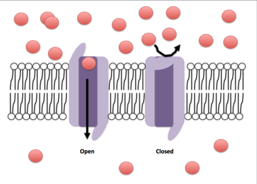 Canais iônicos: estrutura, funções, tipos 1