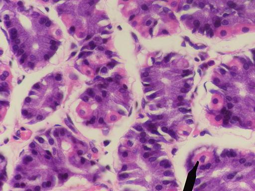 Células parietais: características, histologia, funções, doenças 3