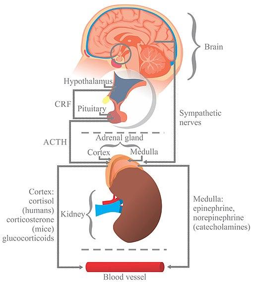 Células cromafinas: características, histologia, funções 2