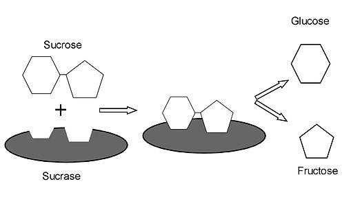 Sacarasa: características, estrutura, funções 1