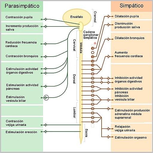 Células cromafinas: características, histologia, funções 3