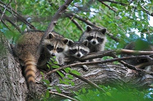 Guaxinim: características, habitat, alimentação, reprodução 6