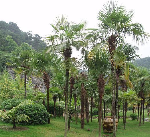 Trachycarpus fortunei: características, habitat, cultivo 1