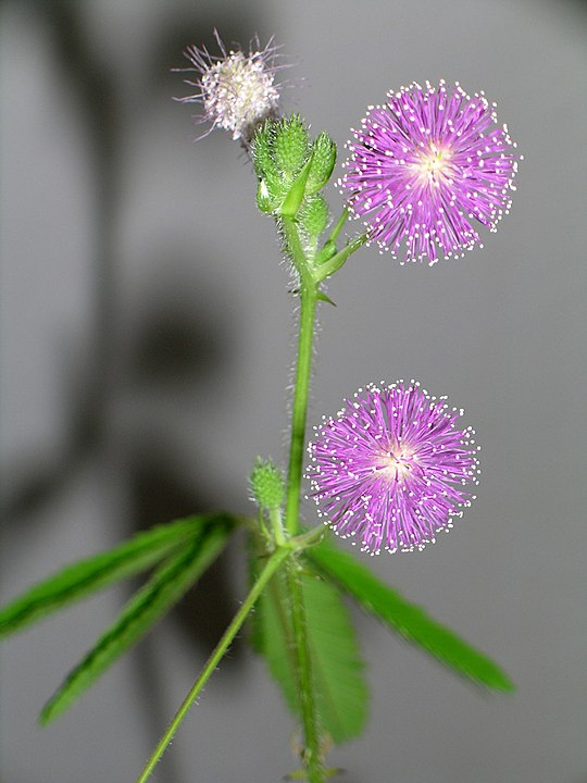 Mimosa pudica: características, habitat, propriedades, cultivo 4
