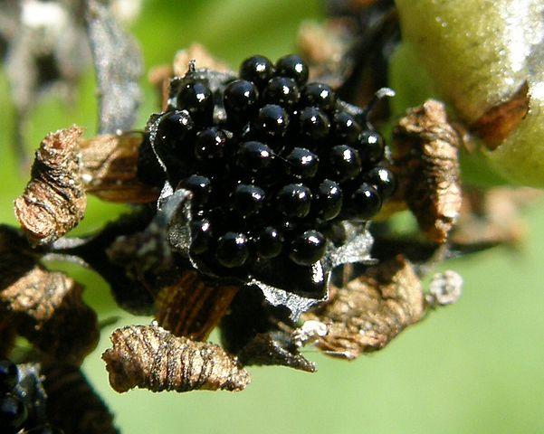 Dionaea muscipula: características, habitat, distribuição, cultivo 6