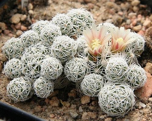 Mammillaria: características, habitat, cultivo, usos e espécies 9