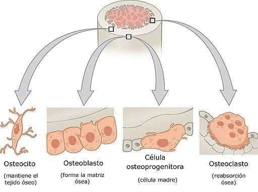 Tecido ósseo: características, estrutura, formação e crescimento 1