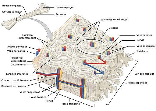 Osso compacto: características, estrutura, funções 1