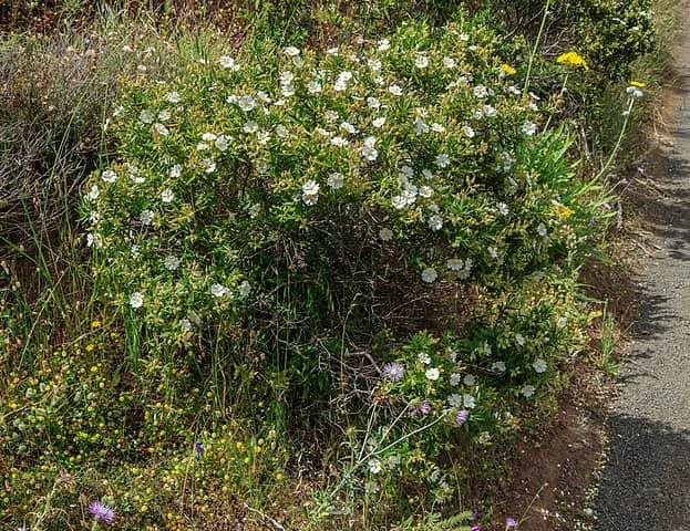 Cistus monspeliensis: habitat, propriedades, cuidados, doenças 3