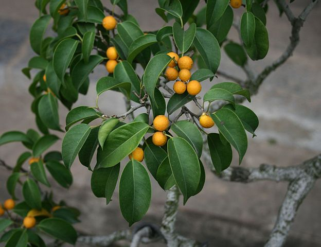 Ficus benjamina: características, reprodução, cuidados 8