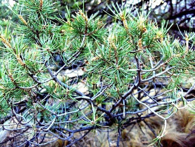 Pinus cembroides: características, habitat, usos e doenças 2