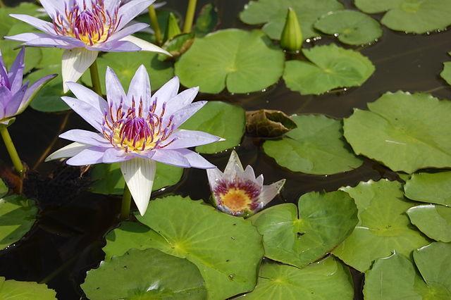 Plantas aquáticas: características, classificação e espécies 9