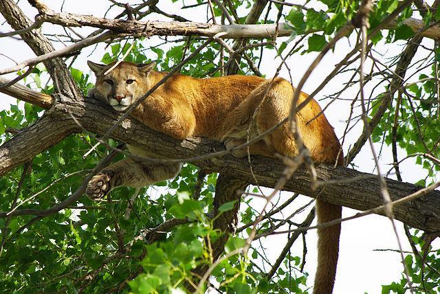 Puma concolor: características, perigo de extinção, habitat 3