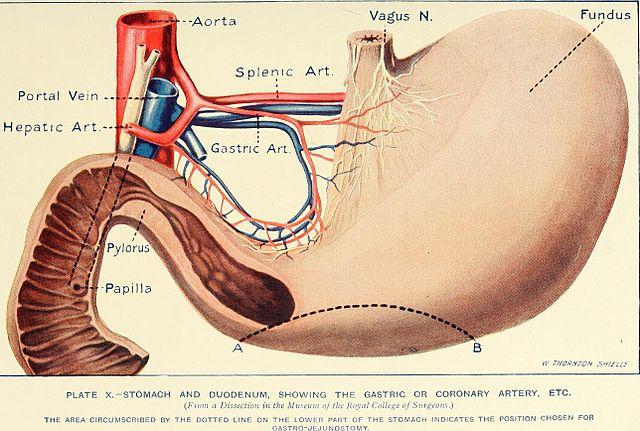 Piloroplastia: o que é, anatomia, fisiologia 4