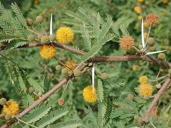 Leguminosas (Fabaceae): características, habitat, cultivo, usos 13