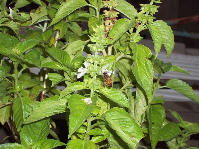 Lamiaceae: características, habitat e distribuição, espécies 7