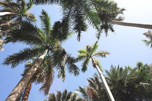Palmeiras: características, habitat, propriedades, cultivo, espécies 11