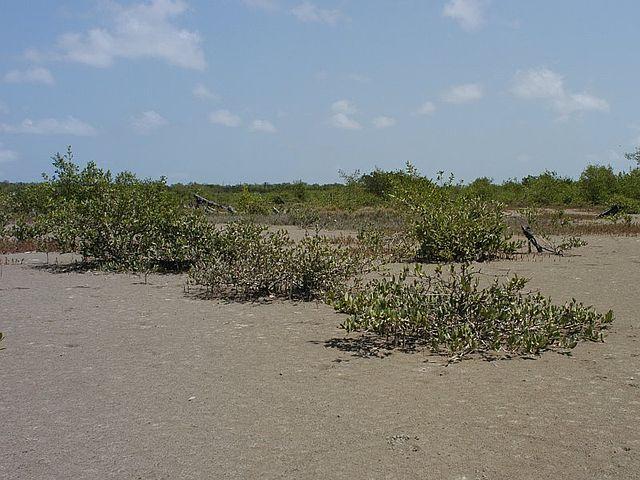 Mangue-preto: características, taxonomia, habitat e usos 4