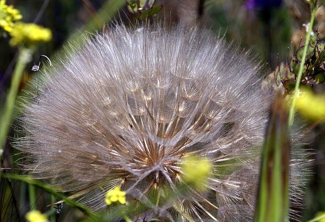 Asteraceae: características, habitat, espécies e usos 5