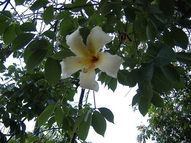 Ceiba: características, habitat e distribuição, espécies 3