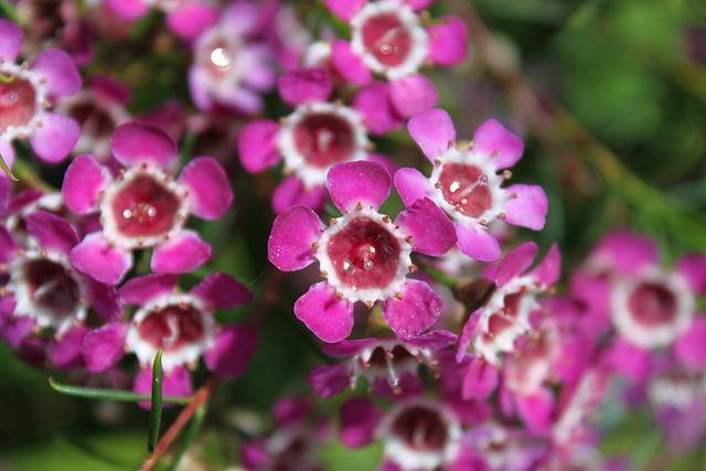 Chamelaucium uncinatum: características, habitat, cuidados 2