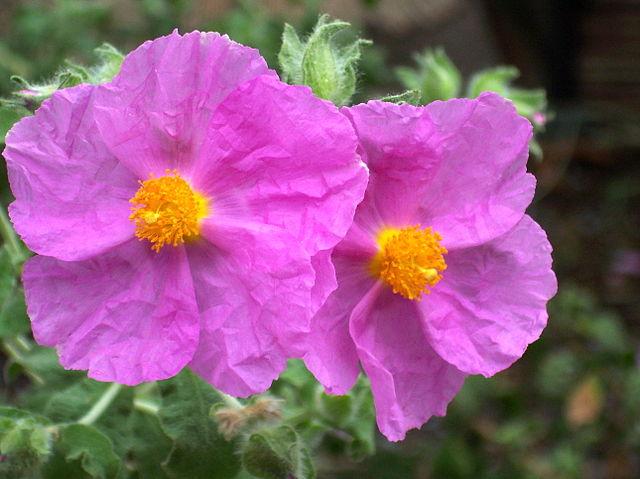 Cistus albidus: habitat, propriedades, cuidados, doenças 4