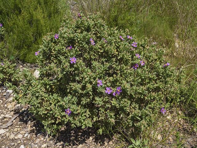 Cistus albidus: habitat, propriedades, cuidados, doenças 2