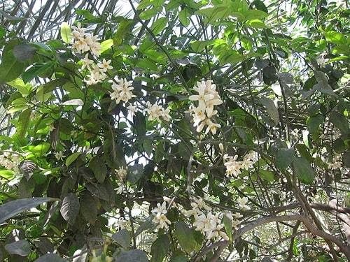 Citrus × aurantifolia: características, habitat, propriedades, cuidados 4