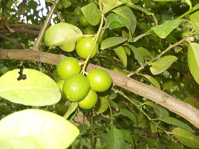 Citrus × aurantifolia: características, habitat, propriedades, cuidados 1