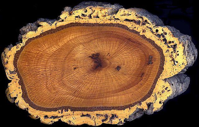 Encinos ou carvalhos (gênero Quercus): características, usos, espécies 14